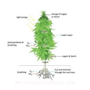 What is a Cannabis Plant? A Breakdown of the Anatomy and Functionality of Cannabis