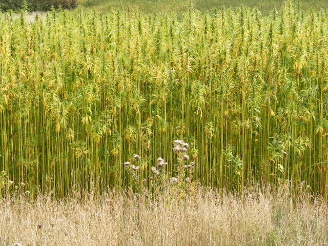 Oregon Cannabis: Hemp Is Happening (Again)