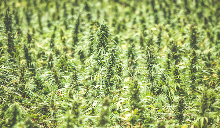 Tennessee Hemp Legalization Bill Signed Into Law After 117 to 2 Vote in Legislature
