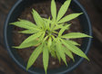 Pot And Cigarette Smoking Have At Least One Health Consequence In Common