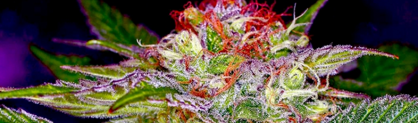 Maximizing The Taste And Smell Of Your Marijuana