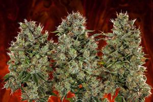 Quiz: Are You More Indica or Sativa?