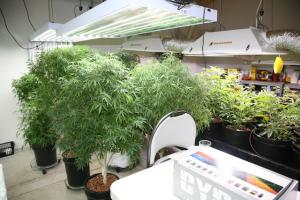 Grow Q&A: How Many Times Can I Take Clones From My Marijuana Motherplant?