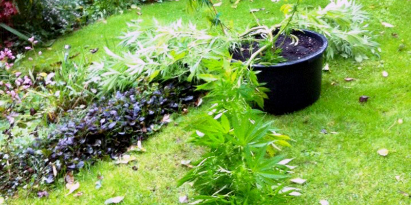 What To Do When Your Marijuana Plant is Knocked Down