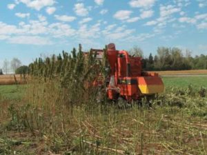 Industrial Hemp Is Growing Right Now In North Dakota