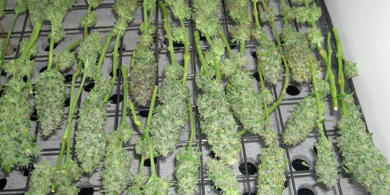 Harvesting, Drying And Curing Indoor Marijuana Plants