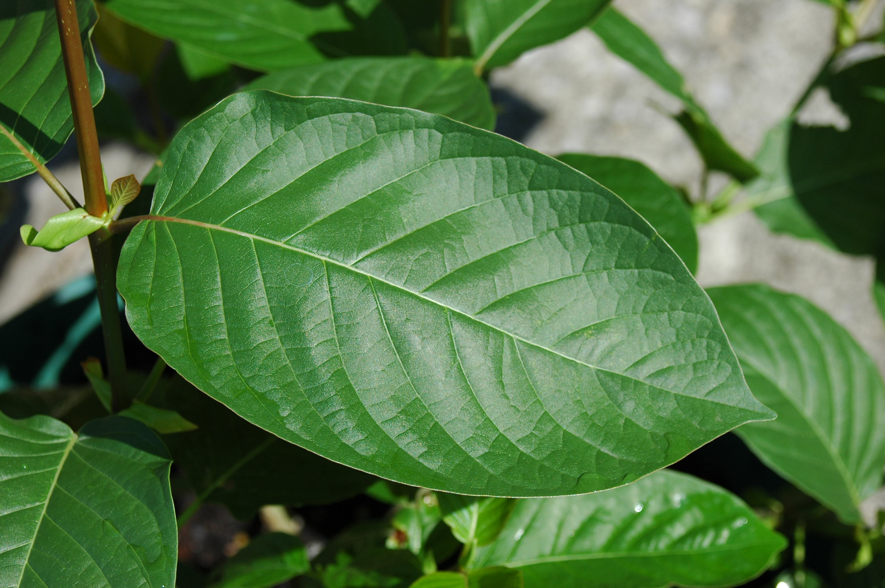 A Look at Why the DEA is Making Kratom Illegal