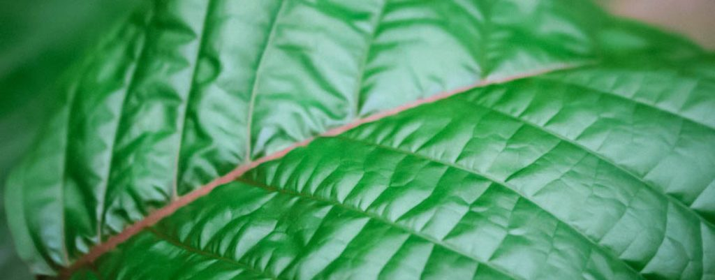 Ban on Kratom Delayed
