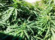 Authorities Raid 81-Year-Old's Garden To Seize One Marijuana Plant
