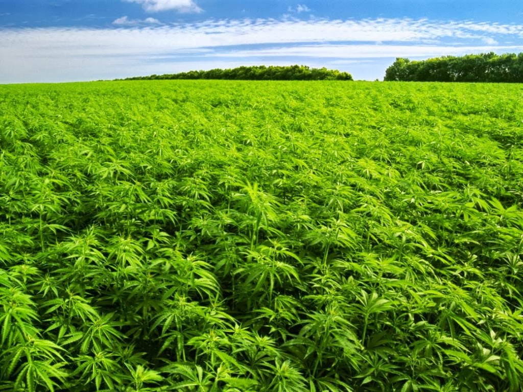 The History of Cannabis and Hemp