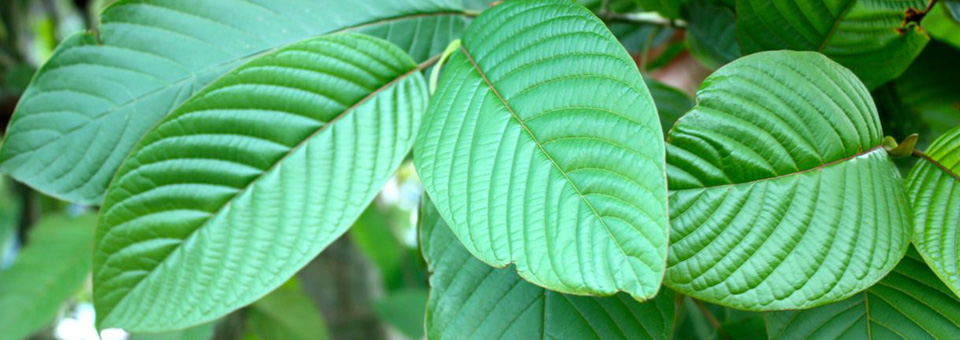 10 Days Remaining for Public Comment on Proposed Kratom Ban