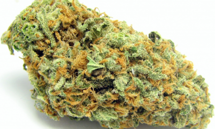 Green Crack Marijuana Strain Overview