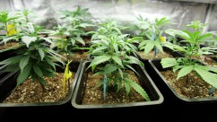 WA Bill to Allow Marijuana Producers to Sell Immature Plants and Seeds to Patients Passed by Two Committees