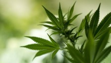 Colorado Committee Approves Measure to Drastically Reduce Marijuana Grow Limit