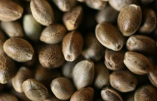 DEA Gives Washington State Approval to Import Hemp Seeds