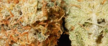 Tangerine Dream Marijuana Strain Review