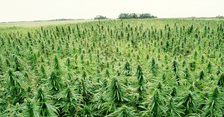 Report: U.S. Hemp Market Valued at $688 Million for 2016