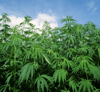 Hemp Bill Signed by New York Governor Andrew Cuomo