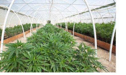 Cannabis Is No Ordinary Commodity