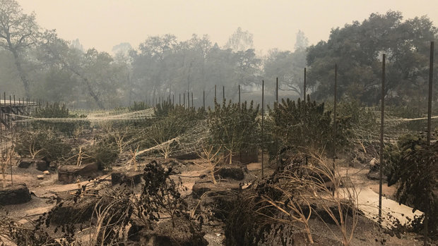 It's Not Just Wine Country: California Wildfires Have Hit Cannabis Growers Hard
