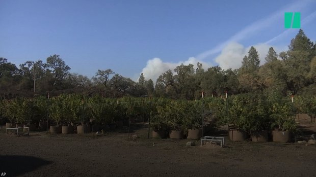 Wildfires Scorch California Cannabis