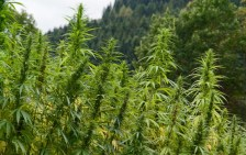 Two Missouri Committees Approve Measure to Legalize Hemp