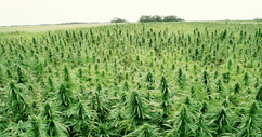 Kentucky Senate Votes 93 to 2 to Urge Federal Government to End Hemp Prohibition