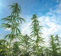 Senate Majority Leader Mitch McConnell (R) to File Bill Legalizing Hemp