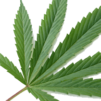 Study: Hemp May Fight Ovarian Cancer