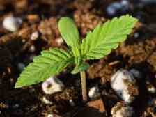 Study: Cannabis Seeds and Sprouts Exert Beneficial Effects on Human Cells