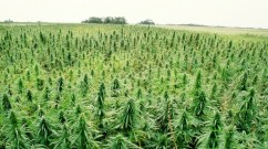 U.S. Senate Committee Passes Bill to Legalize Hemp