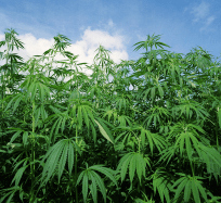 U.S. Congress Approves Bill to Legalize Hemp, Sending it to President Trump